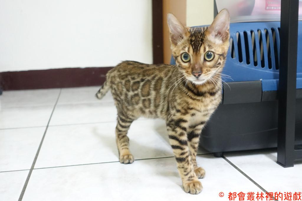 【Bengal cat豹貓】Aslan來到新家啦