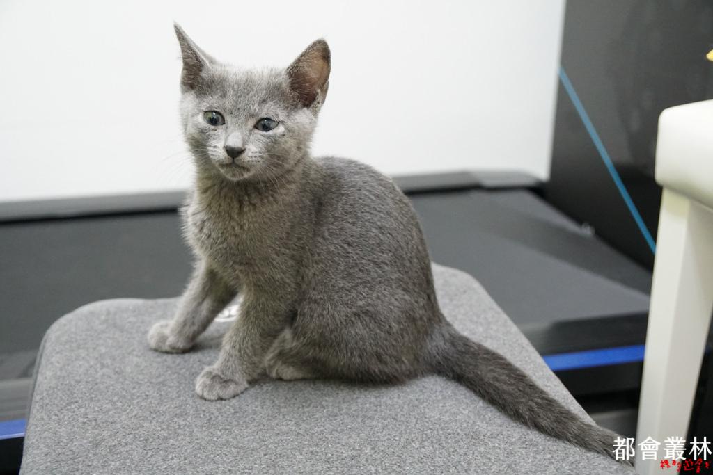 【俄羅斯藍貓 Russian Blue】三王子 Bowen 來到新家啦